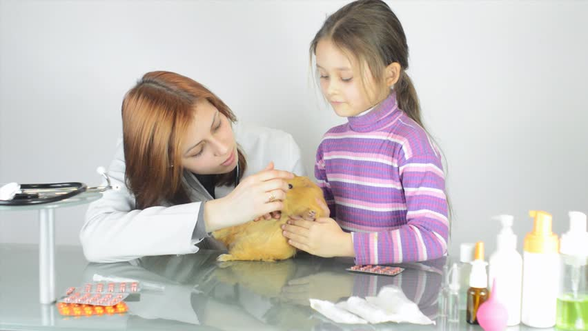 veterinarian examines a guinea pig and treated