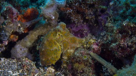 Blue ringed octopus - Hapalochlaena lunulata at Lembeh, Indonesia