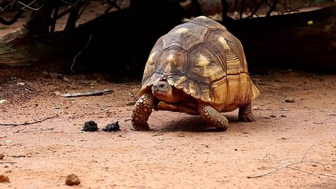 Angonoka or Ploughshare tortoise in Madagascar. This is the most critically endangered tortoise in the world (~500 left in the wild). Extinction predicted in 10 years. Zoology, Biology, Herpetology.