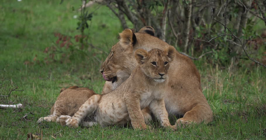 African Lion, panthera leo, Mother licking its Cub, Masai Mara Park in Kenya, Real Time 4K