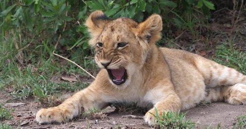 African Lion, panthera leo, cub Yawning, Masai Mara Park in Kenya, Real Time 4K