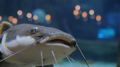 Big catfish. Phractocephalus hemioliopterus. Light bokeh on background