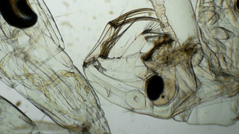 a transparent larva under the microscope,with internal organs,like an alien organism