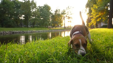 Young beagle search around, sniffing grass at park lawn, slow motion shot. Cute dog with long ears looking for something using nose, feel scent and try to find item. Beautiful city garden at evening