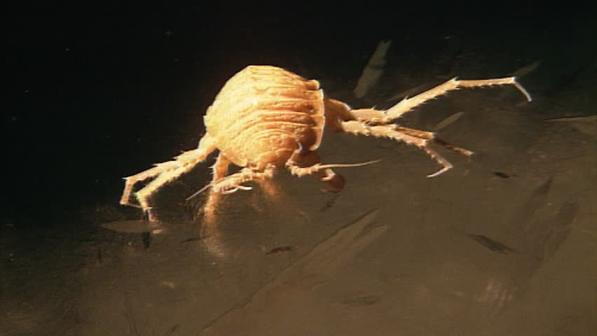 Header of sea louse
