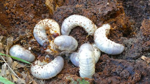 eight bark beetle larvae lie on top of each other