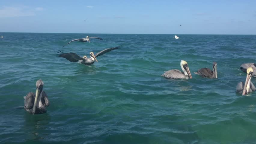 Swimming Pelicans in the Gulf #34337860