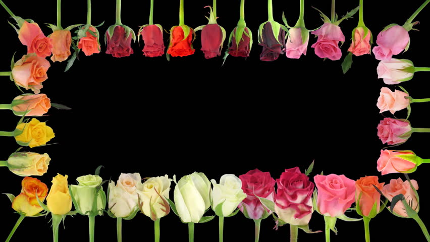 Montage of opening colorful roses time-lapse, time lapse, time, lapse, timelapse, includes alpha matte  #34348030