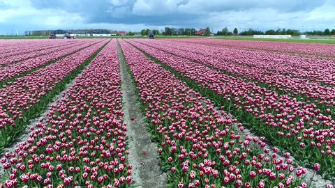 Aerial bird view footage of beautiful pink tulip field showing the rows of the flowers and in background showing wind turbines creating renewable energy from wind overcast weather grey clouds 4k