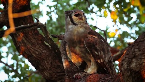 Verreaux's Eagle-Owl in Kruger National park, South Africa; Specie Bubo lacteus family of Strigidae