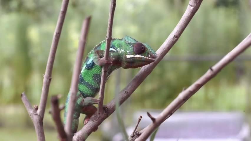 Panther Chameleon Color Change