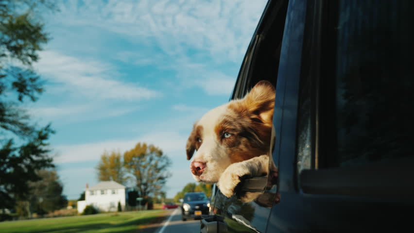 A dog with surprised eyes looks out of the car window. Goes down the street suburban town in the US | Shutterstock HD Video #34434400