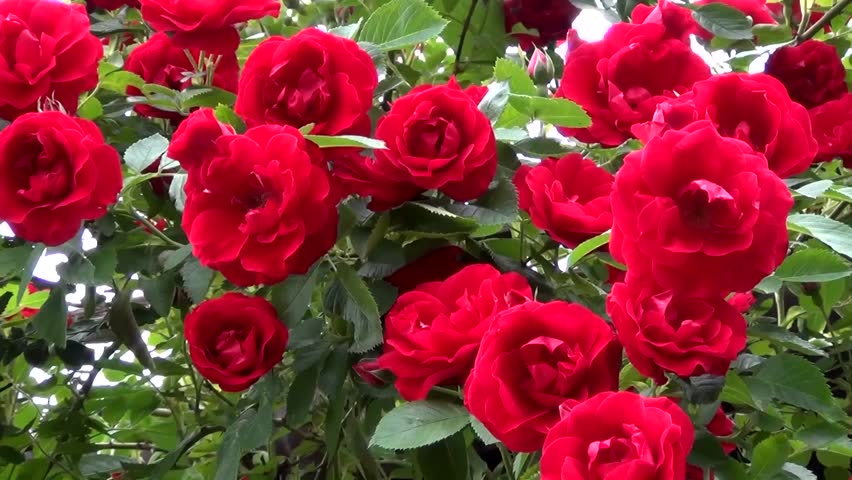 Red shrub roses