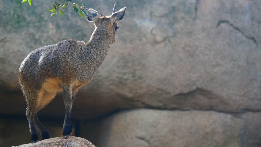 A small klipspringer antelope Oreotragus oreotragus on a rock. cinematic 4k footage close up