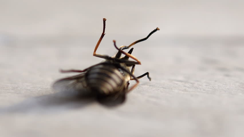 Close up of dying horse fly on floor