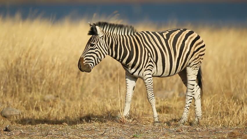 Grazing plains (Burchells) zebra (Equus burchelli), Pilanesberg National Park, South Africa