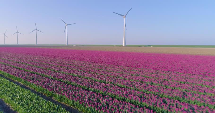 Aerial shoot: Stack of footage, Tulip fields near Wind turbine, Amsterdam, Netherlands, 4k