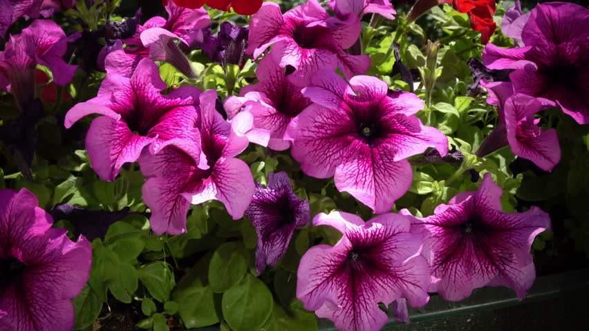Close up of some beautiful pink hanging petunia flowers are moving in wind