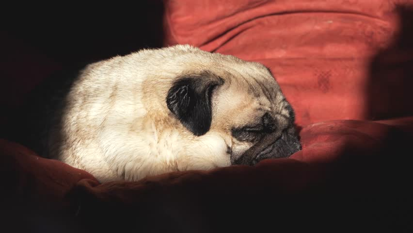 Pug waking up on couch
