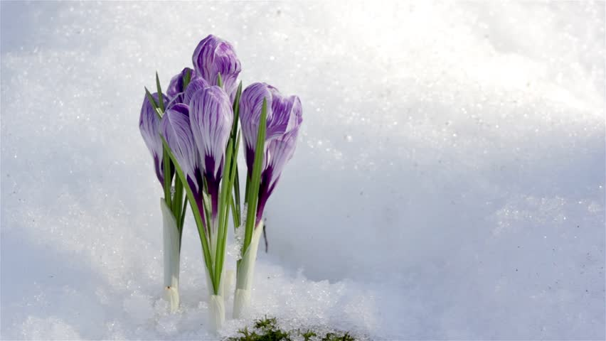 Purple Spring Crocus Flower Beautiful Stockvideos Filmmaterial