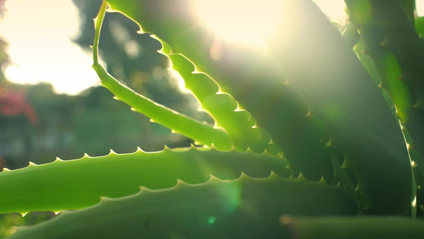 Aloe Vera plant growing in garden, sun flaring through leaves, closeup. Shallow DOF, 4K UHD.
