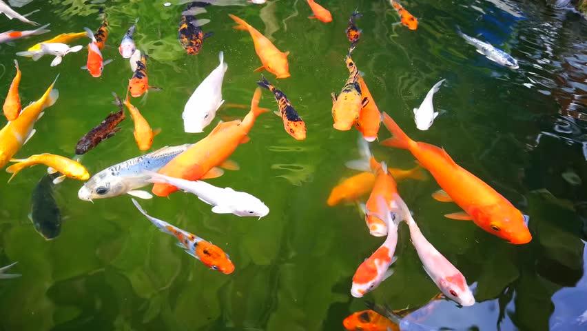 Galore blogspot free asian carp videos