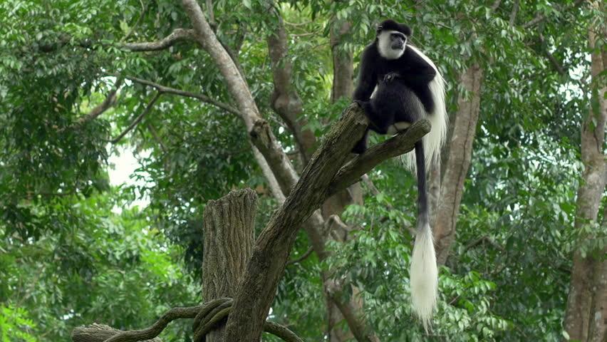 Black and white Colobus monkey sitting on a tree