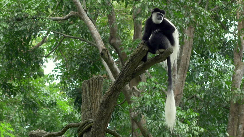 Black and white Colobus monkey sitting on a tree