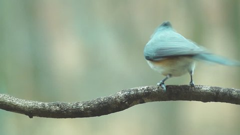 Tufted Titmouse landing and sitting on limb, winter plumage in Georgia