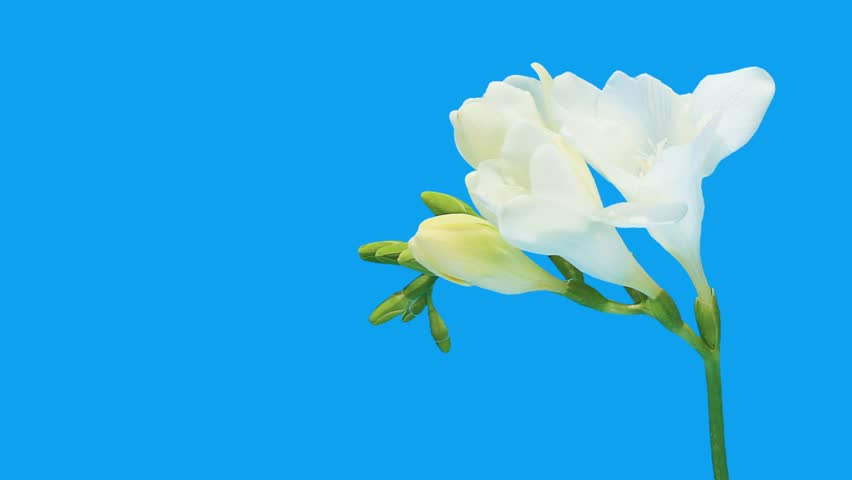 Stock video of time lapse opening white freesia flower buds stock video of time lapse opening white freesia flower buds 3489680 shutterstock mightylinksfo