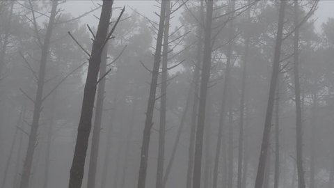 Mid shot of Pine tree forest during a misty morning in the winter in Nazare, Portugal