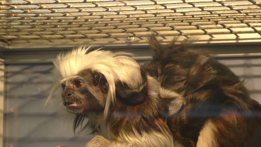 Oedipus Tamarin Little Monkey kind of tamarins with cub
