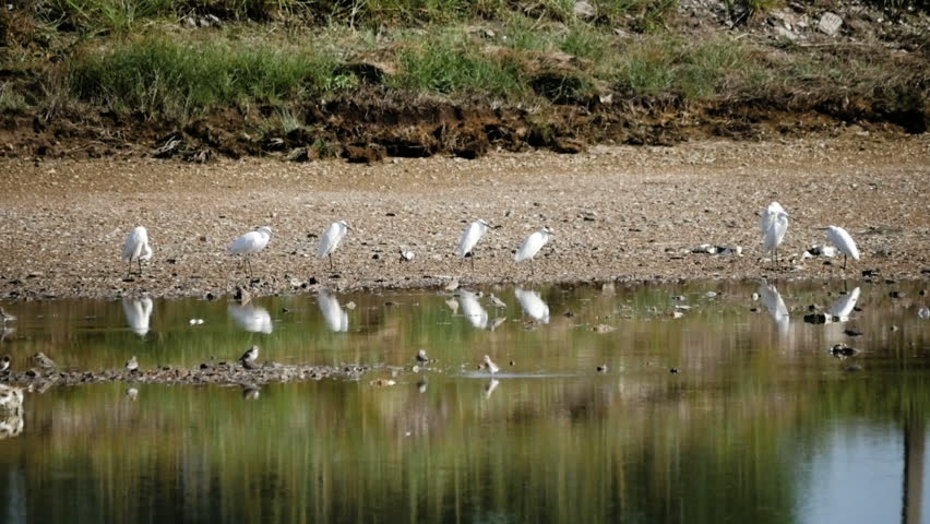 a flock of Great White Egret,looking for food in low tide wetland