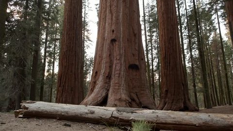 Giant Redwood Sequoia Forest. United States of America. Hiker on the Park Trail.