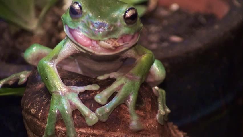 A beautiful Australian green tree frog swallow s a live cricket up close.