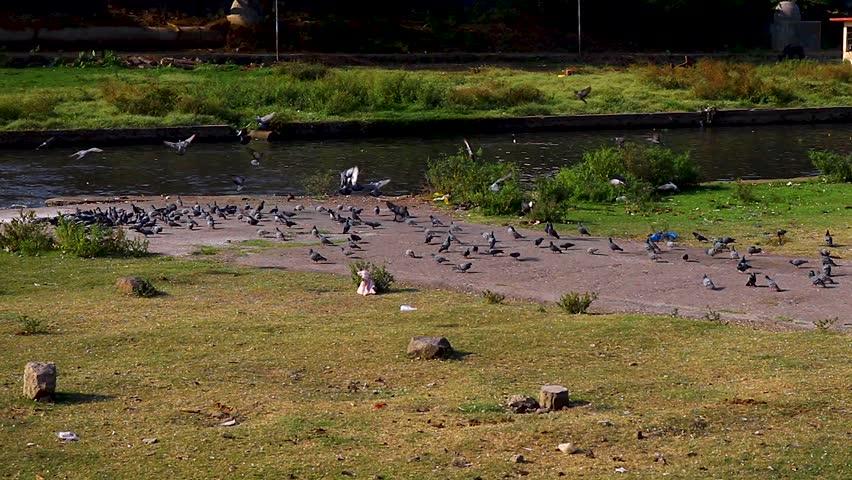 Pigeons Flock near deccan bridge pune