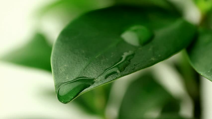 Dew or rain drop moving on ginseng leaf | Shutterstock HD Video #3520490