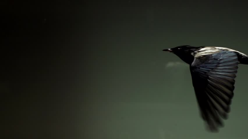 Starlings flying in wind tunnel in slow motion