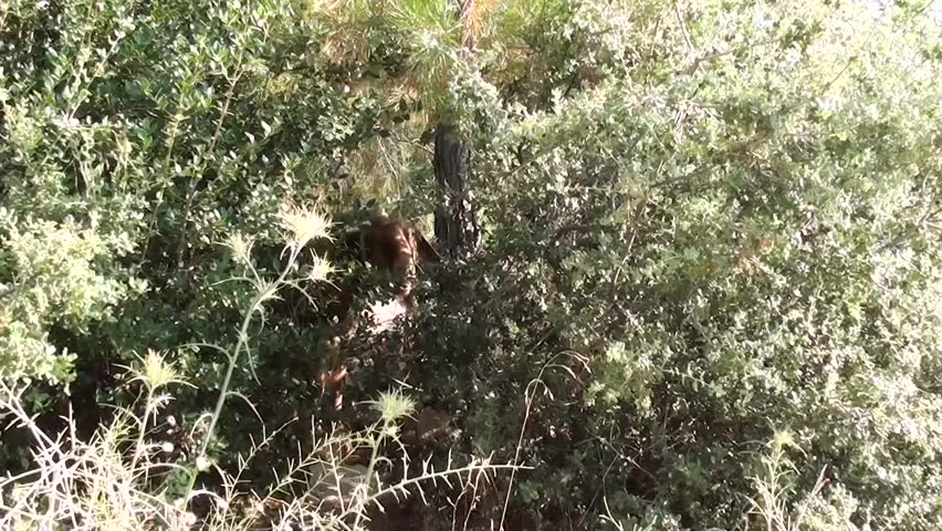A goat feeding in the bushes, zoom in