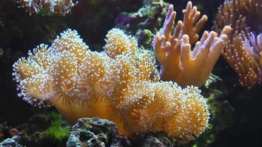 Coral Sarcophyton elegans and yellow fish