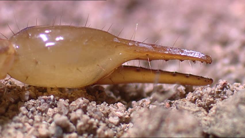 Arizona Bark Scorpion Stock Footage Video (100% Royalty-free) 3549650 |  Shutterstock