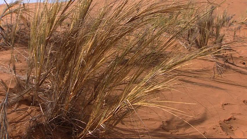 Zoom in to Namib desert dune ant