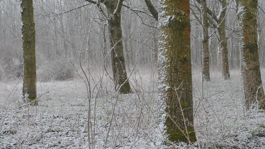 forest trees with falling snow