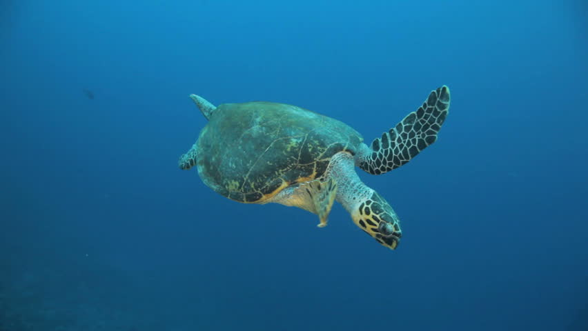 turtle swimming in the blue