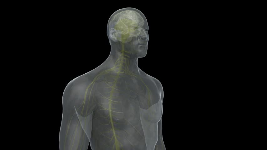 Transparent 3D human male head and torso endorphin high on drugs highlighting CNS brain excitation down to peripheral nerves