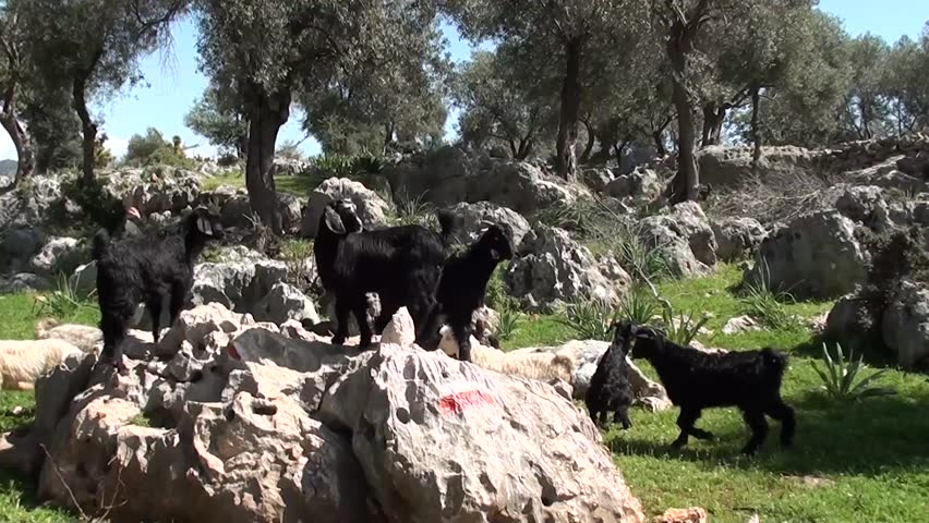 Herd of small goats