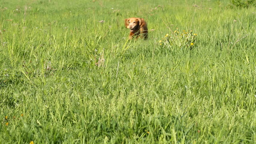 English Cocker Spaniel runing on a green grass