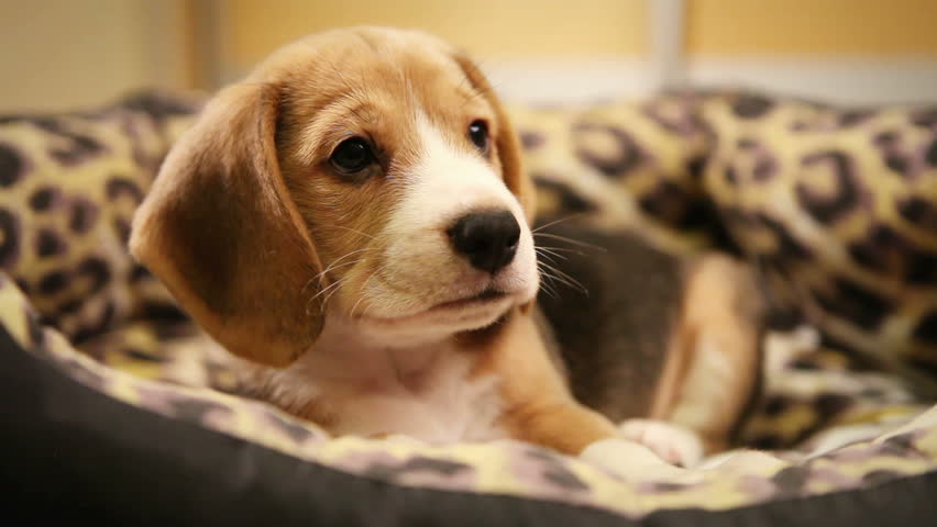 Cute Beagle Puppy in sofaBed