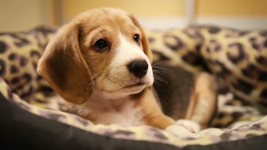 Fantastic Video Beagle Adorable Dog - 2  Collection_476471  .jpg