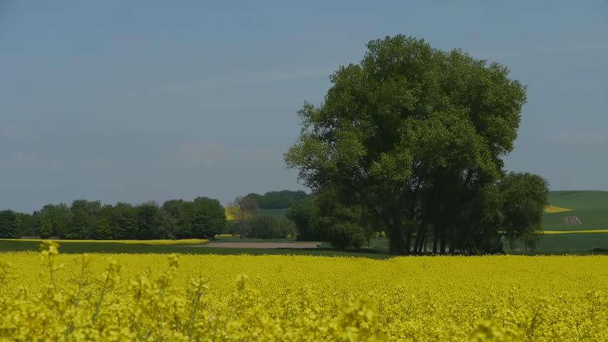 Yellow oilseed rape field. Alternative energy.